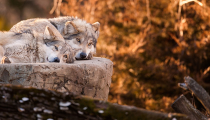 Pair of Mexican gray wolves relaxing on large rock