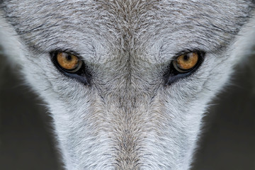 Ingelijste posters Wolf Wild gray wolf eyes in Wyoming