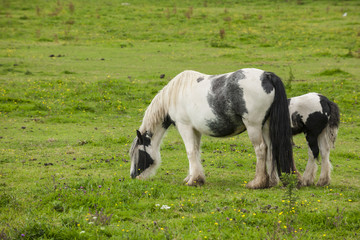 Irish cob horses at pasture