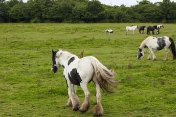 Irish gipsy horses