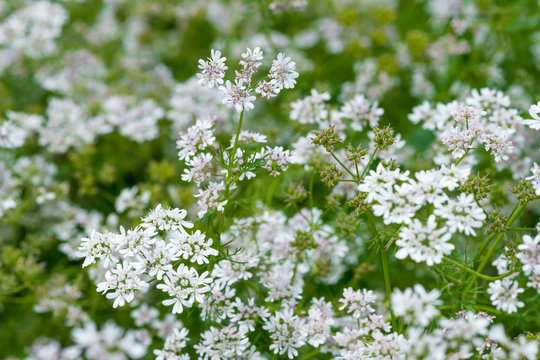 Beautiful cilantro coriander flowers blooming in the summer