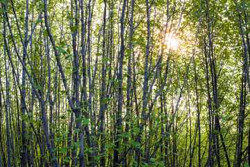 Thickets of young alder with sunlight