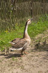 Two geese and goslings on the grass