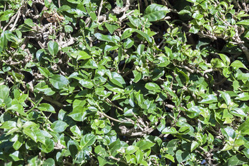 Background of Trimmed Hedge Green Leaves