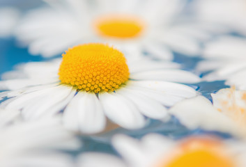 Daisies or chrysanthemums closeup