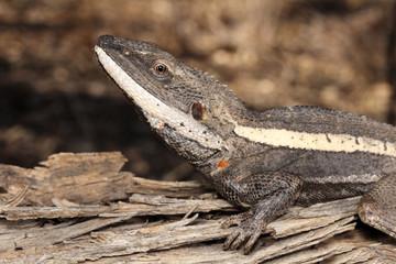 Amphibolurus is a genus of lizards native to Australia.