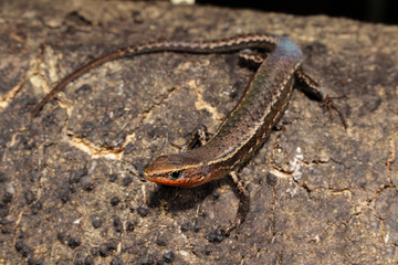 Carlia is a genus of skinks, commonly known as four-fingered skinks, in the subfamily Lygosominae. Carlia belongs to a clade with the genera Niveoscincus, Lampropholis.