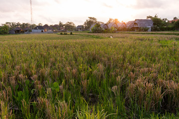 Sunset over a rice field on Bali