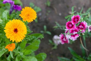 yellow flower calendula