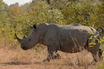 An African white rhinoceros calf storming through the bush at speed