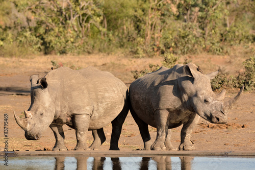African white rhinoceros cow with her mature calf standing