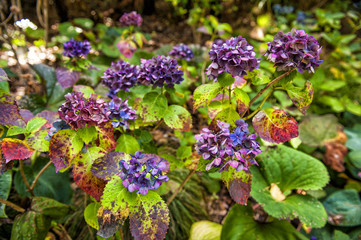 Colourful hydrangea flowers at botanic garden in Wellington, New Zealand
