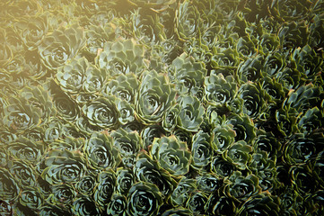 Echeveria elegans (Mexican snow ball, Mexican gem, white Mexican rose)