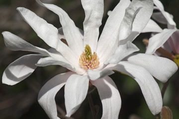 Star magnolia (Magnolia stellata). Another scientific name is Magnolia kobus var. stellata
