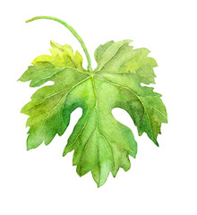 Grape leaf of vine. Watercolor