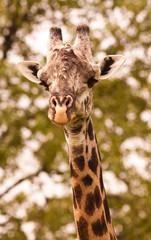 Wall Mural - Close up of a wild giraffe