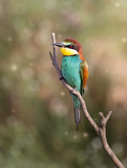 European bee-eater ( Merops Apiaster ) sitting on the branch