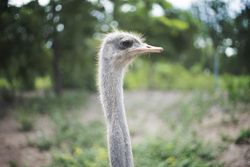 close up face of ostrich with blured green forest background.