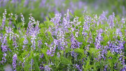 Цветы полевые и луговые