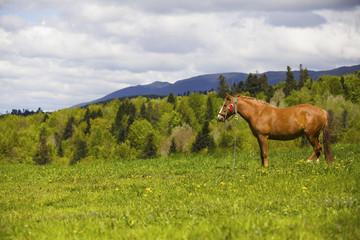 Horse in the Carpathian meadows in summer