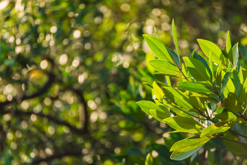 Branch of mangrove on the bokeh of mangrove forest background.
