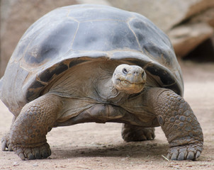 A Close Up of a Galapagos Tortoise