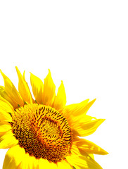 beautiful sunflower isolated on a white background