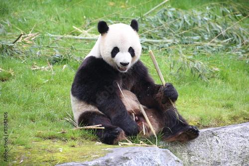 gro er panda frisst bambus imagens e fotos de stock. Black Bedroom Furniture Sets. Home Design Ideas