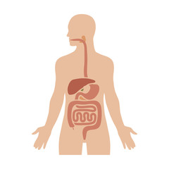 Human biological digestive / digestion system flat color diagram for medical apps and websites
