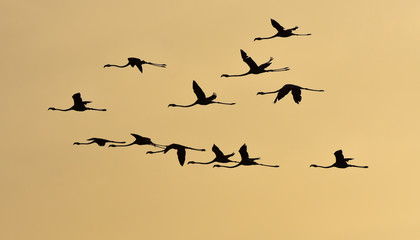 Flamingos flying at sunset, silhouette.