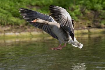 Greylag Goose, Goose, Anser Anser