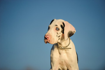 Harlequin Great Dane puppy against blue sky