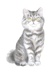 Scottish Straight cat. Image of a thoroughbred cat. Watercolor painting