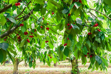 Under the shade of cherry trees