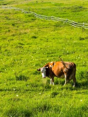 Brown cow looking into camera on meadow with green grass. Wooden fence in background. Space in top side. Vertical photo.