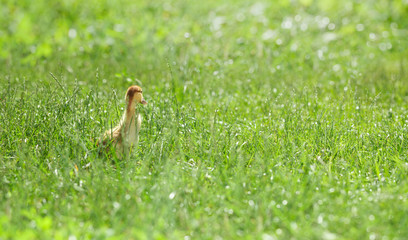 Chick lost in green grass field