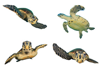 Sea Turtles isolated white background (Hawksbill Turtle)