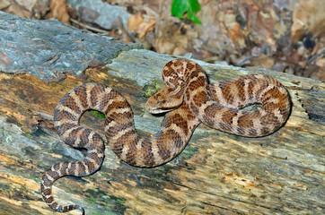 Snake (Agkistrodon saxatilis) 19
