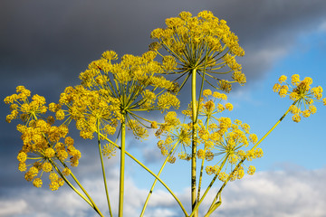 Thapsia villosa. Zumillo en flor.