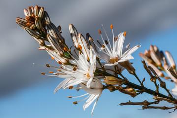 Flores de Gamón. Asphodelus albus.