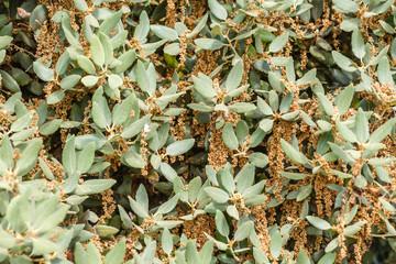 Ramas de Encina con amentos masculinos. Quercus ilex.