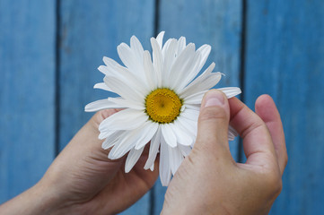 Large white daisy in the hand