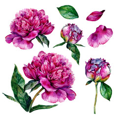 Hand drawn watercolor peonies