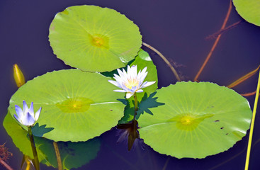 Waterlily flowers and pads on a blue pond