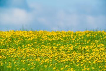Wild dandelion field and blue sky