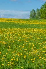Wild dandelion field in countryside
