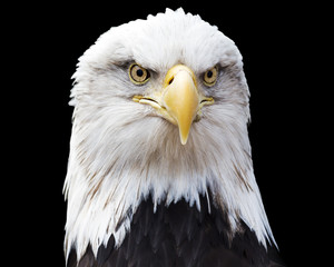 Wall Mural - Portrait of a bald eagle looking strait at  the viewer making eye contact isolated on black