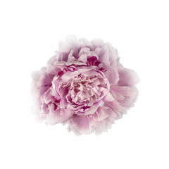 Pink Peony Flower (with clipping path)