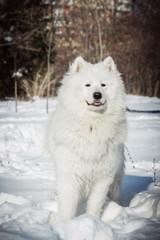 White Samoyed dog on snow in winter day