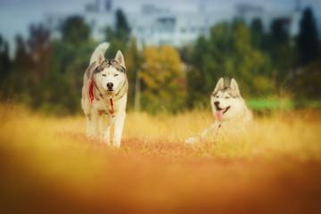 fun beautiful siberian husky dog of wolf or german shepherd puppy running in autumn field